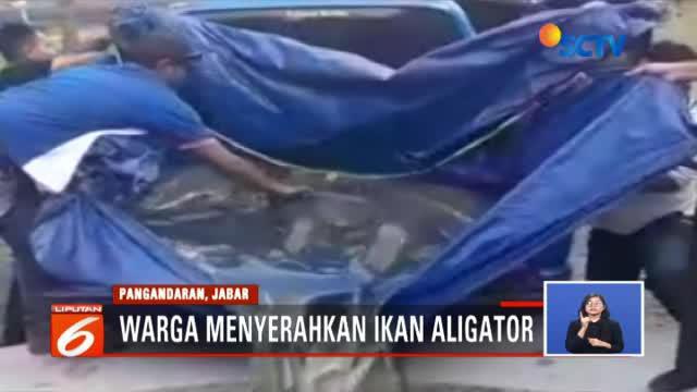 Warga Pangandaran, Bandung, Jawa Barat, kembali menyerahkan ikan berbahaya jenis alligator atau ikan buaya ke posko penyerahan ikan berbahaya dan invasif.