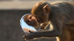 Reaksi seekor monyet ketika memandangi bayangan dirinya sendiri dari kaca spion sepeda motor milik pengunjung kuil di Jaipur, negara bagian Rajasthan, India, 16 Desember 2016. (AFP PHOTO/DOMINIQUE Faget)
