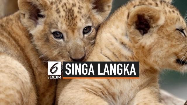 Kebun Binatang Dvur Kralove, Ceko memiliki anggota keluarga baru dengan kelahiran 2 ekor bayi singa berber. Singa berber adalah subspesies dari singa yang telah punah di alam liar sekitar abad ke-20.