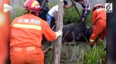 Seekor kerbau jatuh ke dalam sumuru di Profinsi Yunnan. Petugas pemadam kebakaran dan warga setempat melakukan upaya penyelamatan.