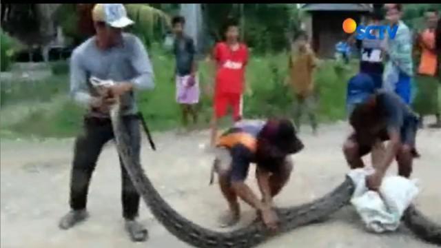 Benar saja, setelah mencari warga menemukan ular piton sepanjang 7 meter dan langsung diarak keliling desa.