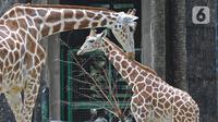 Kawanan jerapah terlihat di kandangnya di Taman Margasatwa Ragunan (TMR), Jakarta Selatan, Sabtu (26/12/2020). Meskipun pandemi covid-19 masih terjadi, sejumlah warga tetap mengunjungi Ragunan di libur panjang Natal 2020 ini. (Liputan6.com/Herman Zakharia)
