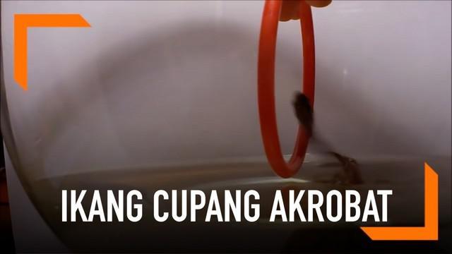 Seorang pria melatih ikan cupangnya untuk akrobat dengan menggunakan alat bantu benda seperti gelang. Ikan bisa melompat melintasi gelang tersebut.
