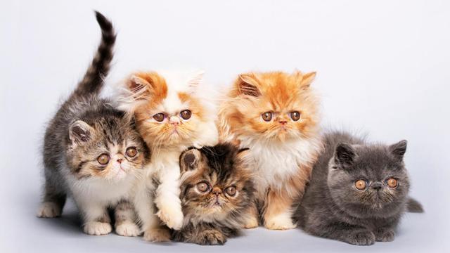 10 Jenis Jenis Kucing Yang Banyak Dipelihara Di Rumah Jinak Dan Lucu Hot Liputan6 Com