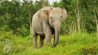 Gajah Sumatera sedang mencari makan di Sebokor, Ogan Komering Ilir, Sumatra Selatan, (25/3). Gajah Sumatra ini didatangkan dari Pusat Latihan Gajah (PLG) Padang Sugihan. (Liputan6.com/Gempur M Surya)