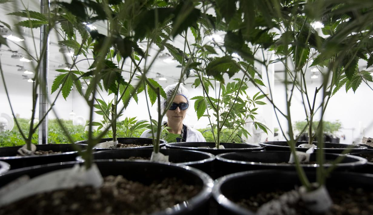 Seorang pekerja saat mengecek tanaman ganja medis di Tweed INC., Smith Falls, Ontario, Kanada (5/12). Tweed INC. merupakan salah satu lokasi budi daya ganja medis terbesar di Kanada. (AFP Photo/Lars Hagberg)