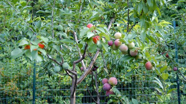 Buah Tree of 40 Fruit