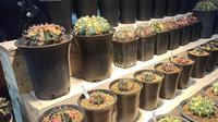 Pencinta kaktus yang ada di Yogyakarta menggelar perhelatan tahunan bertajuk Indonesian Cactus And Succulent Fest pada 4 sampai 6 Juni 2021.
