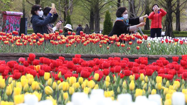 Sejumlah perempuan yang memakai masker mengambil foto bunga tulip di sebuah taman di Goyang, Korea Selatan, pada 13 April 2021. Korea Selatan sedang menyambut musim semi yang akan berlangsung dari Maret hingga Mei. (AP Photo/ Ahn Young-joon)