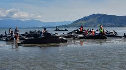 Sejumlah relawan mencoba membantu menyelamatkan ikan paus pilot yang terdampar di Farewell Spit, Selandia Baru (11/2). Peristiwa ini disebut sebagai salah satu insiden terdamparnya ikan paus terburuk yang tercatat di negara itu. (AFP/Marty Melville)