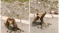 Kedua marmut lucu tersebut terlihat sangat menggemaskan saat mengayunkan tangan kecil mereka (Dalymail.com)