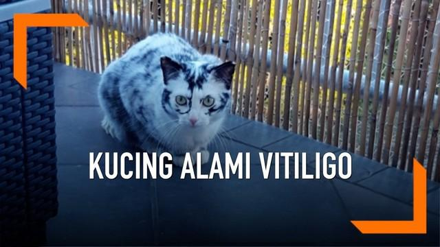 Seekor kucing bernama Elli mengalami kondisi vitiligo. Vitiligo merupakan kondisi dimana warna kulit dan bulu tidak merata.