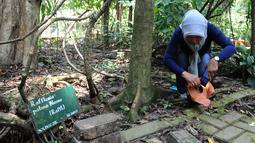 Peneliti Sofie Mursidawati mengecek jenis kelamin bunga Rafflesia Patma yang mekar di Kebun Raya Bogor, Jawa Barat, Minggu (15/9/2019). Parasit tidak berakar, tidak berdaun, dan tidak bertangkai itu bisa mekar sampai 2-3 hari. (merdeka.com/Arie Basuki)