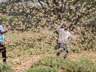 Dua orang pria dikelilingi kawanan belalang gurun di dekat Desa Sissia, Samburu, Kenya, Kamis (16/1/2020). Serbuan belalang gurun kini menjadi ancaman nyata bagi tanaman panen di sebagian Afrika Timur. (AP Photo/Patrick Ngugi)