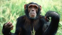 Simpanse ini dilepaskan ke alam liar setelah direhabilitasi oleh Tchimpounga Chimpanzee Rehabilitation Center dari Goodall Institute.