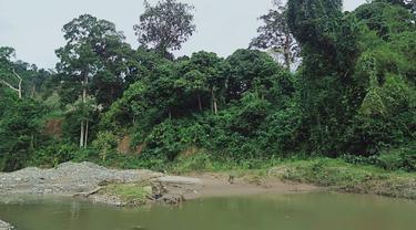Bekas Tambang Emas di Hutan Adat Guguk