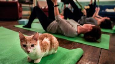 Seekor kucing duduk di atas matras yoga selama kelas yoga bersama kucing  di kafe kucing Brooklyn, New York, Rabu (13/3). Kafe ini menawarkan tempat latihan yoga dengan ditemani kucing-kucing menggemaskan. (REUTERS/Jeenah Moon)