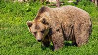Ilustrasi beruang di dalam lubang