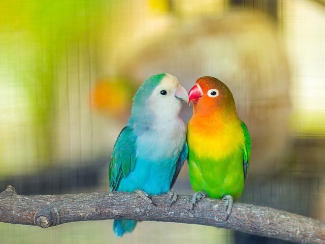 7 Jenis Lovebird Paling Mahal Dengan Bulu Tercantik Pecinta Kicau Wajib Punya Hot Liputan6 Com