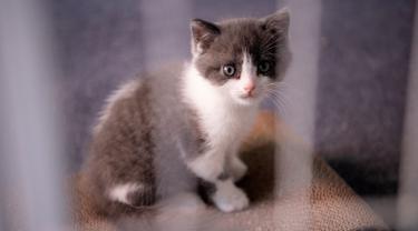 Gambar pada 2 September 2019 memperlihatkan anak kucing hasil kloning bernama Garlic di perusahaan Sinogene di Beijing. Seorang pria China, Huang Yu (23) meminta bantuan perusahaan Sinogene untuk menghidupkan kembali kucingnya yang mati 7 bulan lalu dengan kloning. (STR/AFP)